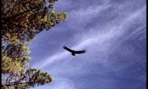 California condor protected with help from PG&amp;E